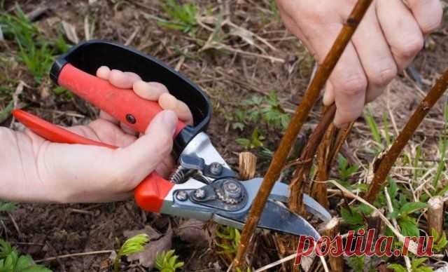 Почему у ремонтантной малины надо вырезать всю надземную часть | Малина, ежевика (Огород.ru)