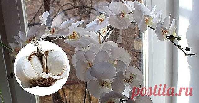 ЧЕСНОК — СПАСЕНИЕ ДЛЯ ОРХИДЕЙ! ЧЕРЕЗ МЕСЯЦ МОЙ ФАЛЕНОПСИС ВЫПУСТИЛ НЕСКОЛЬКО…  О пользе чеснока для человеческого организма знает даже школьник. Но не все обладатели эпифитных орхидей знают, что это луковичное растение может весьма положительно влиять на рост их зеленых питомцев. В частности, чеснок помогает стимулировать пышное цветение фаленопсиса  Чтобы добиться подобного эффекта, наша редакция советует любимым читателям приготовить особую смесь из чесночного мякиша, во...