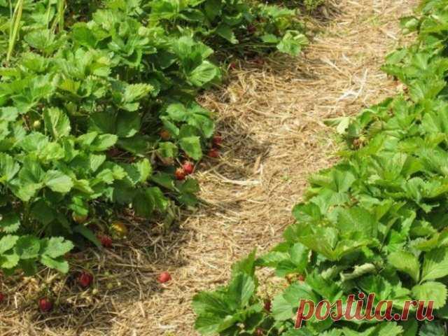 5 хитростей, которые помогут увеличить урожай клубники в 2-3 раза   6 соток