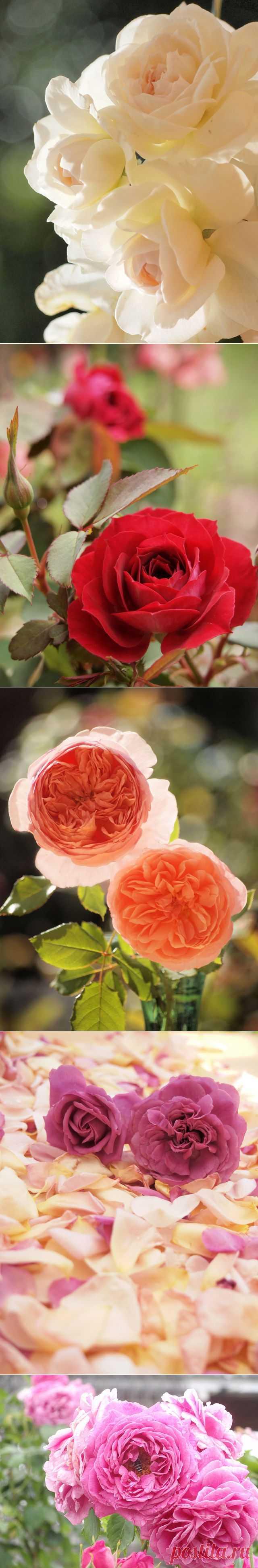 Время роз из сада Wendy