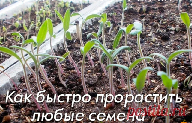 как быстро прорастить семена петунии на рассаду