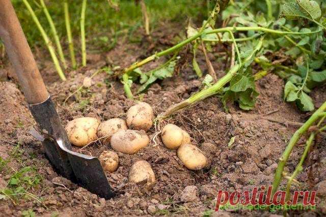 Благоприятные дни для сбора урожая картофеля в 2021 году