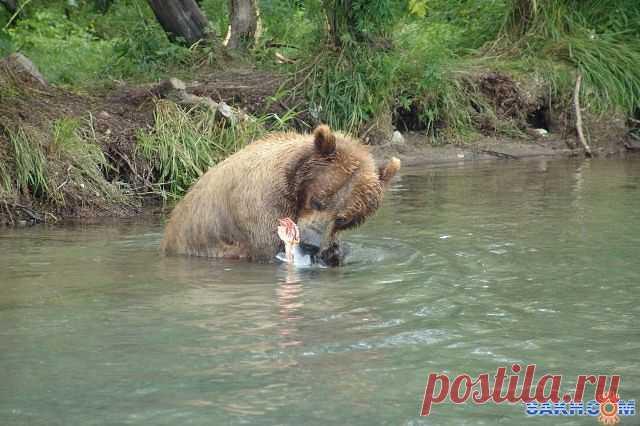 Медведь  питается.