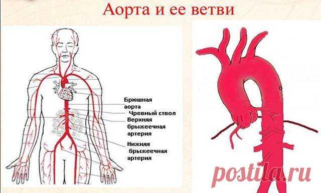 Аорта – самый крупный из артериальных сосудов организма. Атеросклероз аорты – распространенное заболевание и одна из основных причин аневризмы органа, состояния угрожающее жизни пациента. Нередко атеросклеротические бляшки на аорте находят после летального исхода, хотя при жизни человек не имел симптомов заболевания.