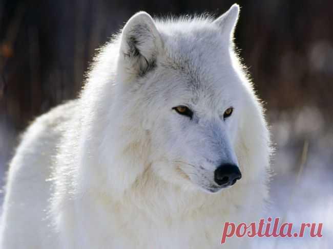 Белый красавец - волк