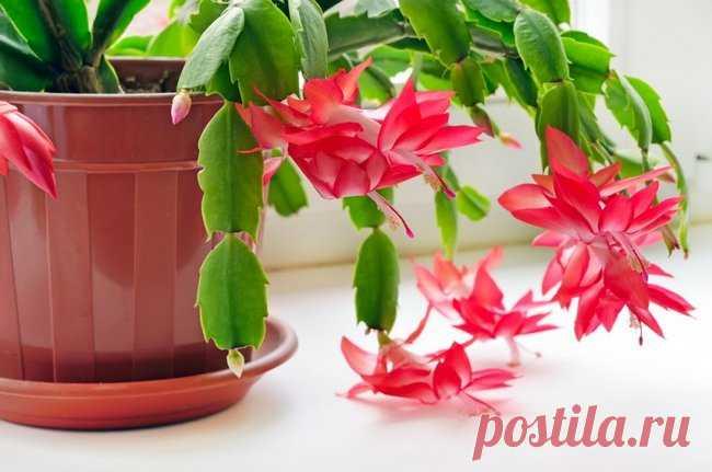 Декабрист цветок уход в домашних условиях приметы