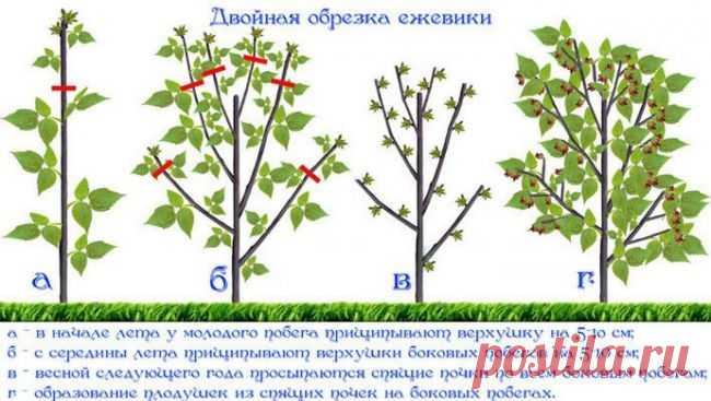 Technology of cutting of garden blackberry for beginners