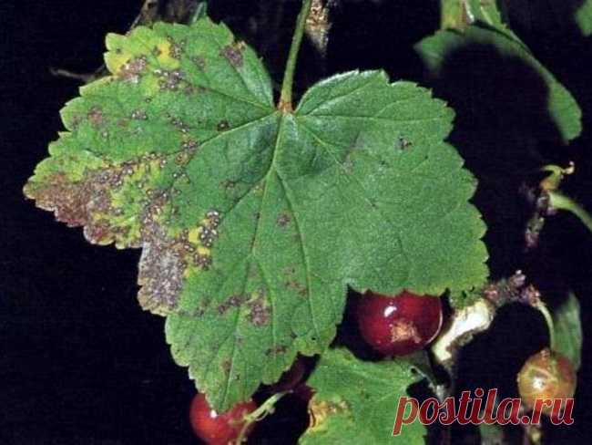 Как бороться с вредителями и болезнями смородины без «химии»?