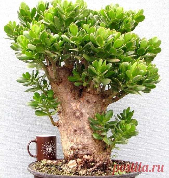 Денежное дерево: как сформировать красивую крону в домашних условиях