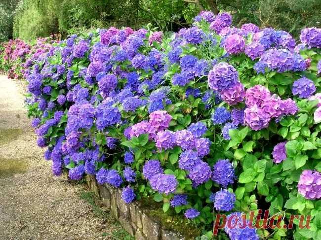 ¿Cómo hacer el suelo agrio para las hortensias, vereskov, las coníferas?