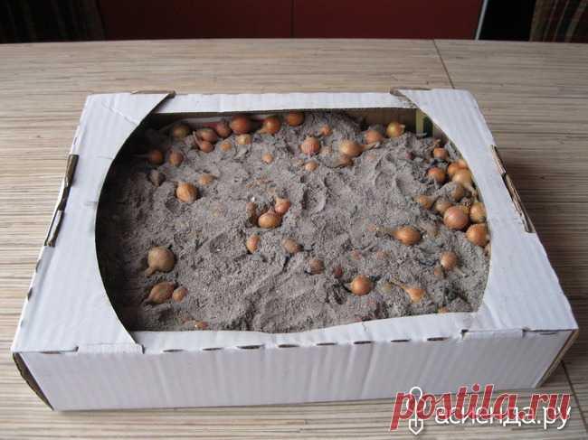 Хранение лука - севка до посева в грунт.: Группа Практикум садовода и огородника