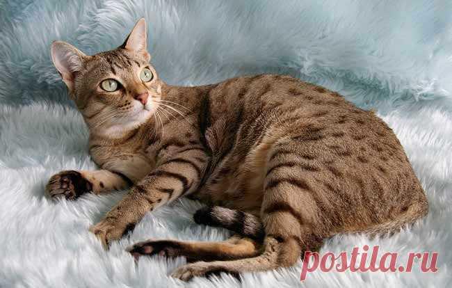 Породы кошек с фотографиями и названиями.