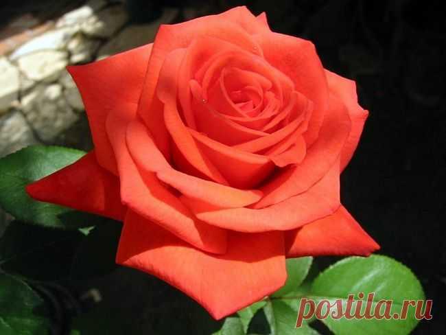 Роза красная моя!