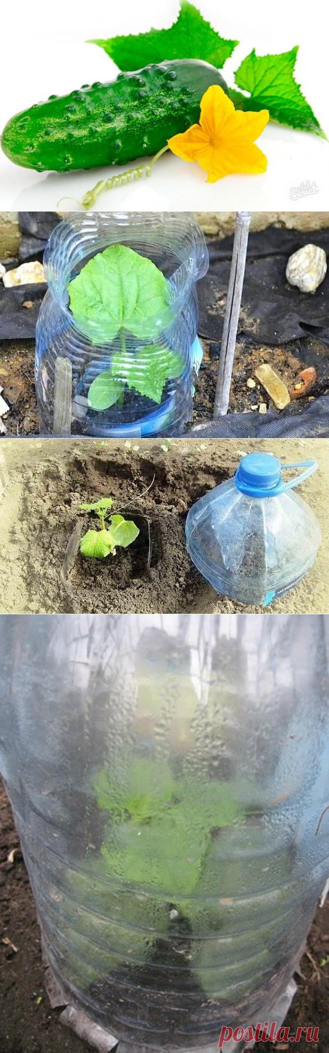 Огурцы в бутылках: выращивание, уход