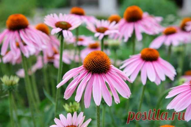 Эхинацея: выращивание, использование и лучшие сорта