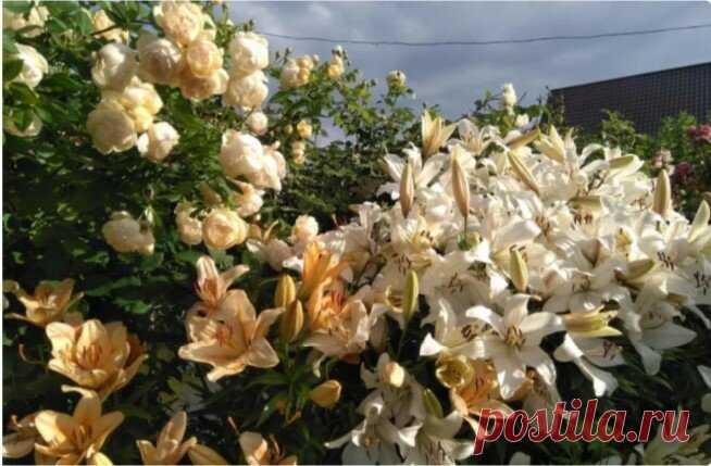 Основные ошибки при выращивании роз   Наталья Кудрявцева   Яндекс Дзен