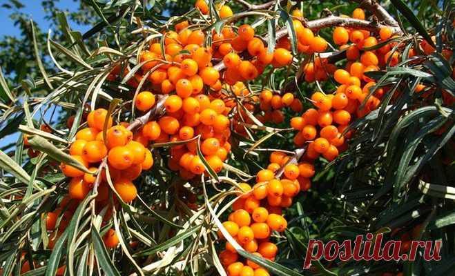 Облепиха самое полезное растение для организма человека - Образованная Сова