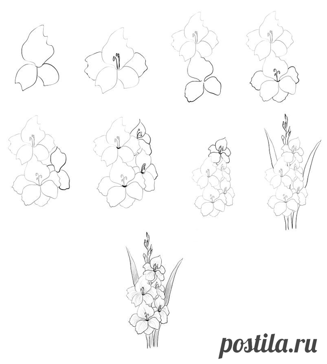 How to draw a gladiolus with a pencil step by step?