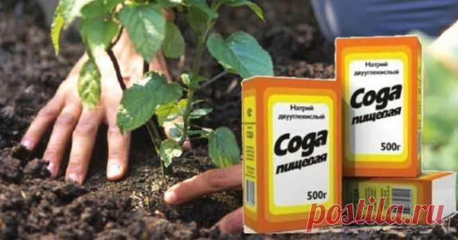 Сода на огороде и др.полезные советы дачнику - Все обо Всем СОВЕТ 1 : СОДА НА ОГОРОДЕ Сохраните, чтобы не потерять! Без пищевой соды вообще сложно представить себе современный огород. Кажется, она помогает везде и всюду. Если вы выращиваете на своем дачном участке виноград, то не забудьте в период созревания ягод опрыскать лозу раствором соды — 75 грамм на 10 литров воды. Такая процедура защищает виноград …