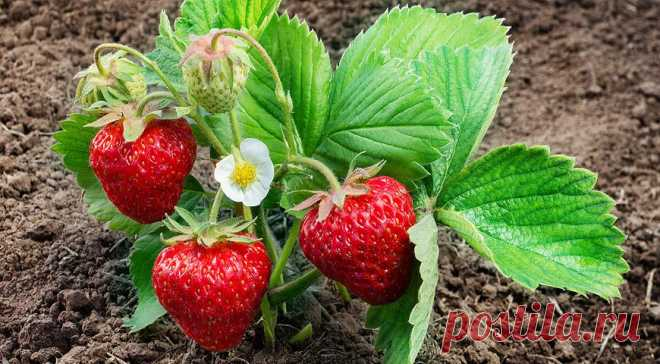 Для богатого урожая клубники на будущий год, правильно ухаживайте за кустами после плодоношения ...