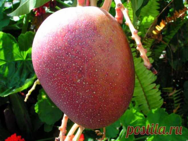 Как посадить манго :: Цветоводство