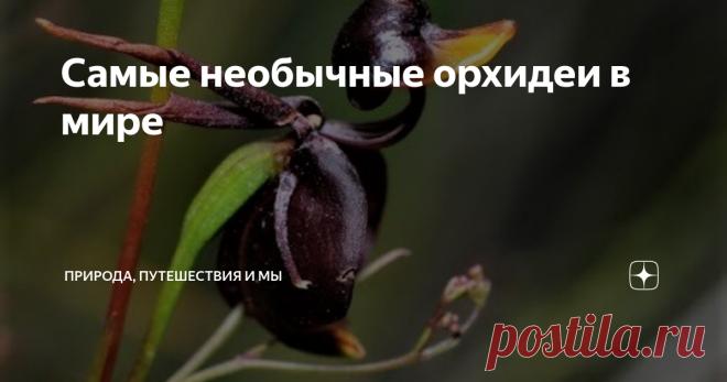 Самые необычные орхидеи в мире