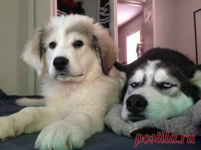 Собаки, которые не очень-то рады появлению в семье нового щеночка Никто никогда не почувствует вашу боль, пока у него не появится младшего брата или сестры. И вопреки тому, что все говорят — это не всегда весело.