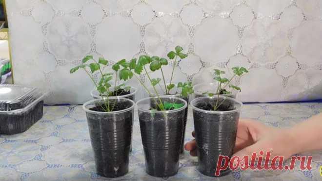 ВЫРАЩИВАЕМ РАССАДУ СЕЛЬДЕРЕЯ ! Как посадить сельдерей на рассаду