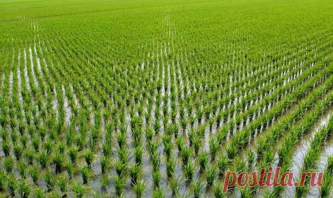 97 % людей варят рис неправильно! В том числе опытные повара не знают, как удалить мышьяк из любого риса. Рис нужно как минимум промывать в проточной воде, пока не уйдет вся белая мучка.