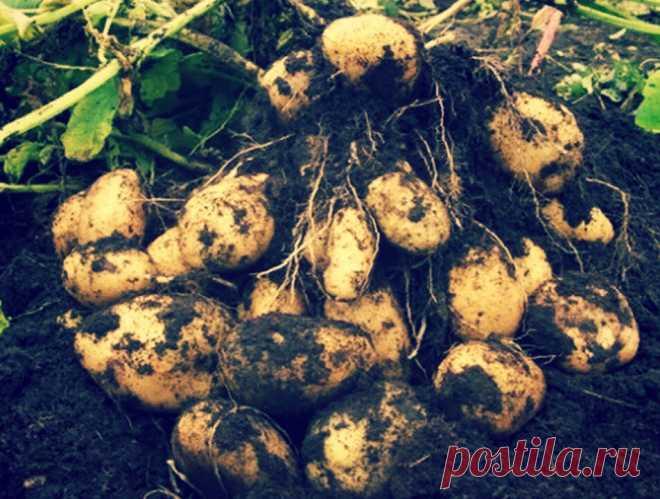 Выращиваем картофель по Турецки! 4-5 кг клубней с каждого куста без особого ухода   Твоя Дача   Яндекс Дзен