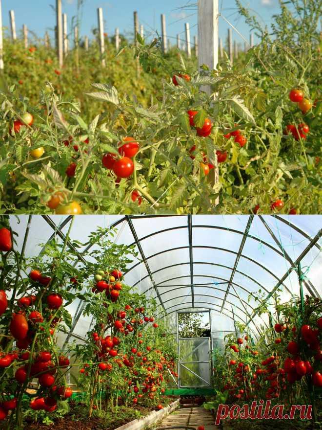 Самые ранние сорта томатов | НА ЗАВАЛИНКЕ