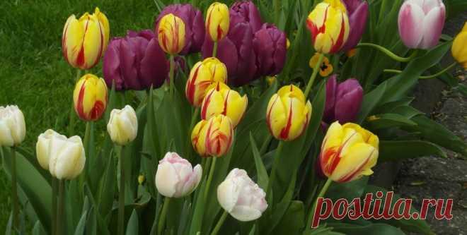 Когда сажать тюльпаны осенью и как сделать это правильно