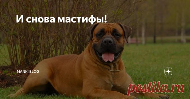 И снова мастифы! Большое количество любителей собак обожают крупных и мощных мастифов. Это семейство включает множество пород. Они отличаются уравновешенным темпераментом, добрым ра́звитым интеллектом и отличными сторожевыми качествами. История молосской группы, уходит корнями глубоко в прошлое. Многие породы использовали в качестве боевых собак начиная с IV века до нашей эры. Мощные собаки принимали участие в