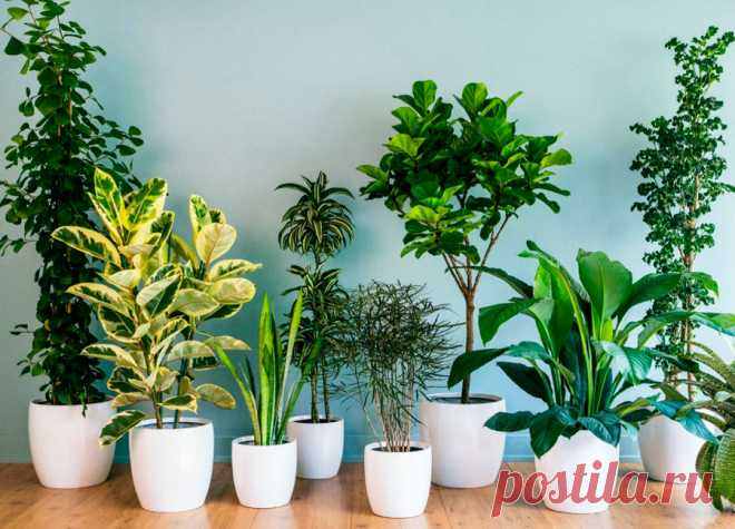 Лучшие комнатные растения очищающие воздух:ТОП15, для квартиры и дома Не стоит думать, что воздух в квартире намного чище, чем на улице. Современную жизнь человека нельзя представить без бытовой техники, пластиковой мебели, линолеума. Рассмотрим лучшие растения для очищения воздуха в помещении.