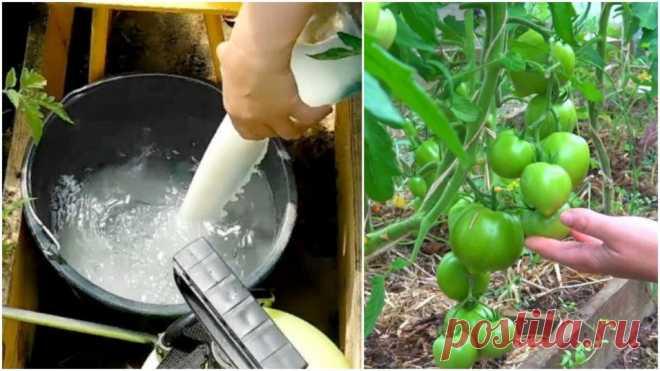 Мои помидоры дают урожай в 10 раз больше, чем у всех: делюсь рецептом удобрения