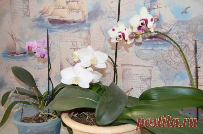 Как и чем правильно подкармливать Орхидею, чтоб она красиво цвела | Я люблю цветы | Яндекс Дзен