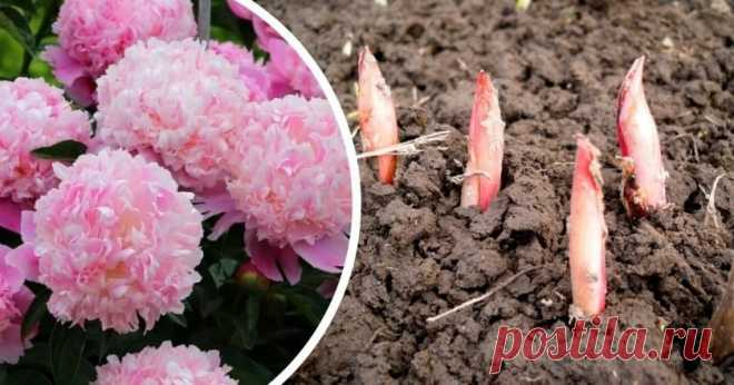 Первая подкормка пионов весной: 4 метода - Со Вкусом