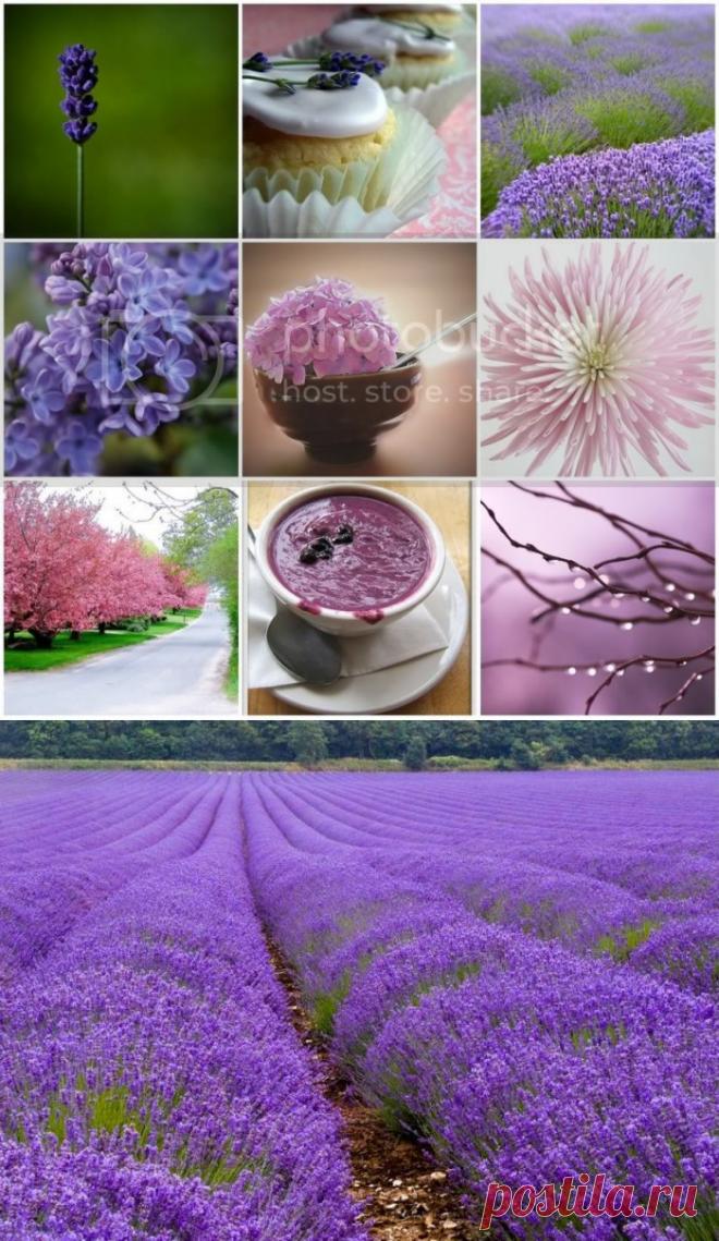 صور زهرة اللافندر - معلومات مهمة عن زهرة اللافندر بالصور