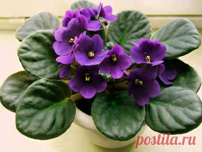 Violets blossom all the year round thanks to this method of watering