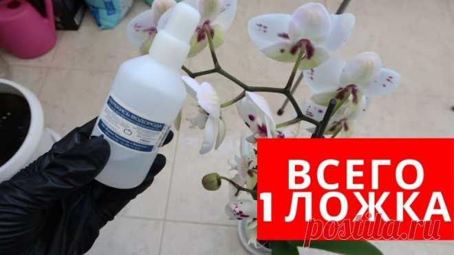 Как оздоровить орхидею и заставить цвести Друзья, если ваши орхидеи не цветут, плохо себя чувствуют есть такой трюк при помощи которого можно улучшить и оздоровить корневую систему и увеличить количество бутонов.Для этого нужно взять перекись водорода и сделать рабочий состав. Этот состав подходит не только для орхидей, его можно...