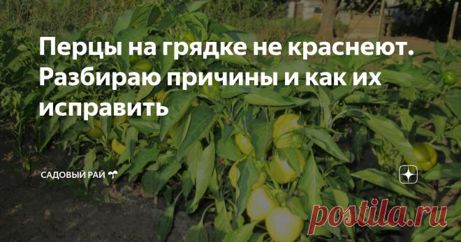 Перцы на грядке не краснеют. Разбираю причины и как их исправить | Садовый рай 🌱 | Яндекс Дзен