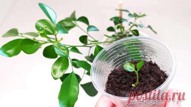 Мурайя метельчатая. Размножение семенами (косточкой) Существует несколько способов размножения мурайи. Очень просто проращивается растение японских императоров — мурайя из семян в домашних условиях. Для выращивания Мурайи подойдут семена тех плодов, кот...