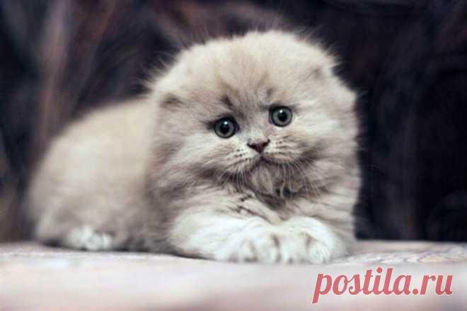 Котята породы хайленд-фолд, самые милые и пушистые создания