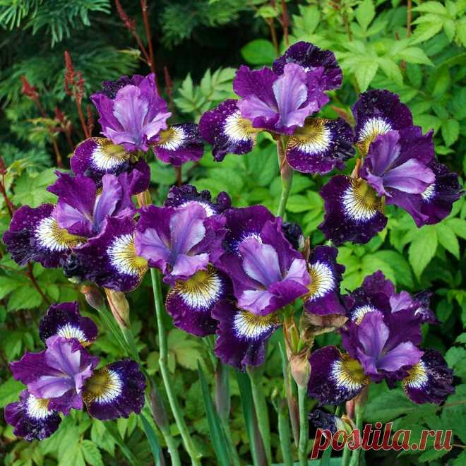 Iris sibirica 'Contrast in Styles' Accents of white and yellow paint lightly ruffled purple falls beneath standards just a shade lighter.