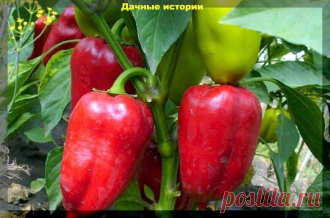 Перцы не зреют, плохо растут и не радуют дачника. Проблемы с перцем во второй половине лета   Дачные истории   Яндекс Дзен