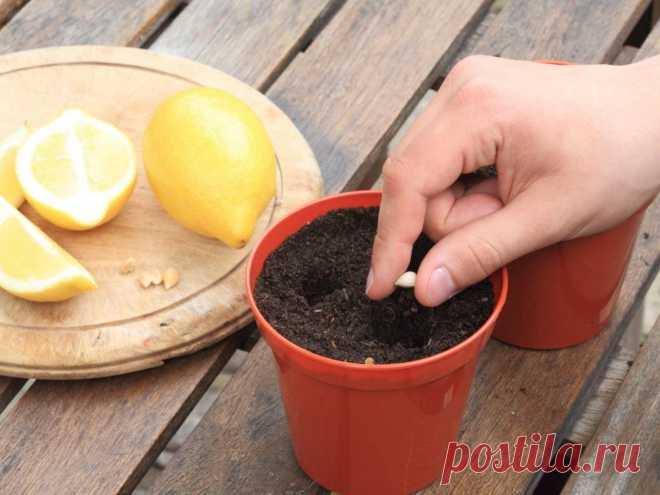 Как вырастить лимон из косточки в домашних условиях  Сегодня купить лимоны можно повсеместно, прошло то время, когда цитрусовые были в России дефицитом, да и цены уже не так кусаются, но иногда хозяйка хочет иметь в своем комнатном саду не только цветы…