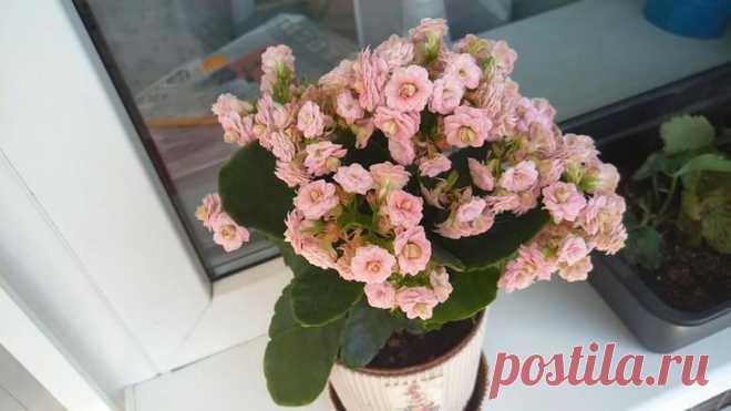 Каланхоэ цветущий: как ухаживать чтобы цвел? Каланхоэ – это растение, которое не только обладает уникальными лечебными свойствами, но и имеет прекрасный декоративный вид. Поэтому его можно встретить, практически в каждом доме. Что делать для тог...