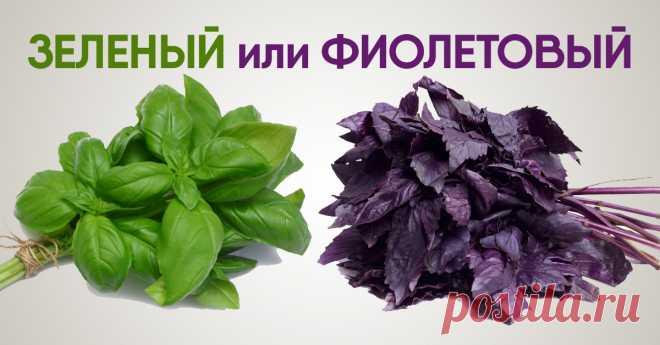 Какой базилик выбрать: зеленый или фиолетовый. Ты удивишься, когда узнаешь, что скрывают эти душистые листья!