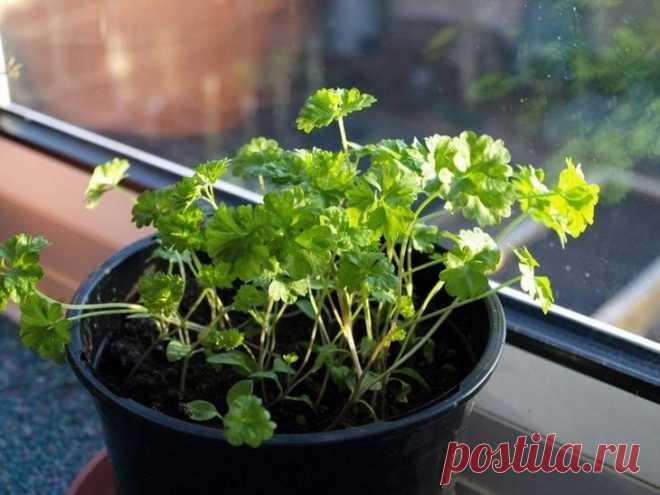 Как вырастить петрушку на подоконнике Почетное место в кулинарном искусстве занимает петрушка. Это ароматное, красивое и полезное растение любит использовать практически каждая хозяйка. Пряная зелень очень ценится за свой богатый состав, ...