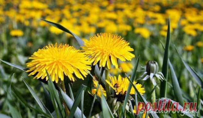Одуванчик: польза и вред для здоровья  Одуванчик, пожалуй, самый известный и распространенный цветок. Однако, не все знают, что он является природным кладезем витаминов и полезных веществ. Листья одуванчика считаются съедобными и содержат…